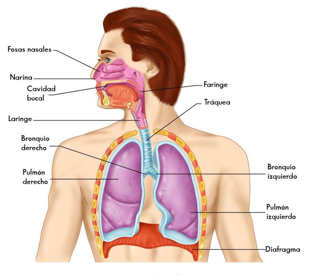 anatomia-del-sistema-respiratorio
